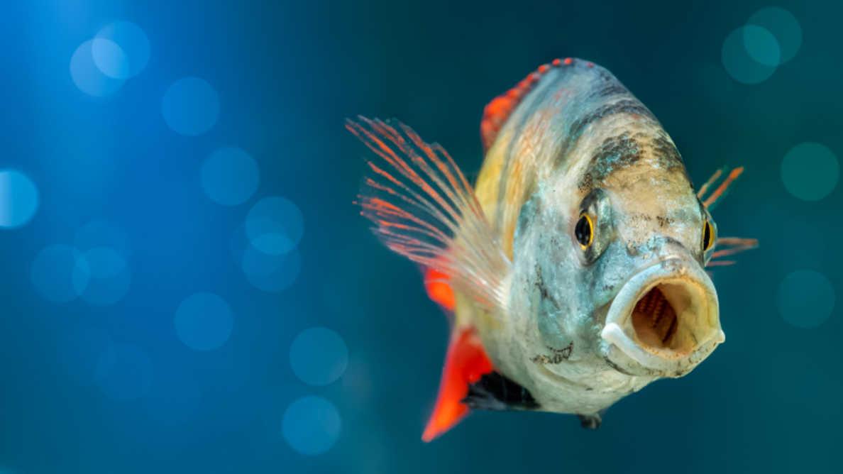 Narządy jamy ustnej ryb zdolne do regeneracji tkanek