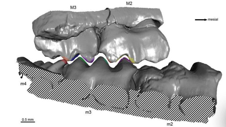 Studie zu Kaubewegungen vor 150 Millionen Jahren